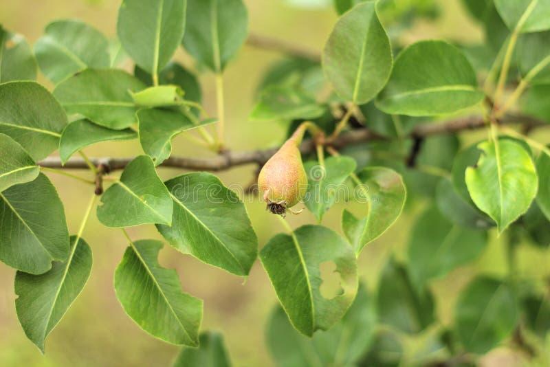 κινηματογράφηση σε πρώτο πλάνο των unripe αχλαδιών στον κλάδο δέντρων με τα πράσινα φύλλα κατά τη διάρκεια θερινή περίοδο Κήπος φ στοκ εικόνα με δικαίωμα ελεύθερης χρήσης