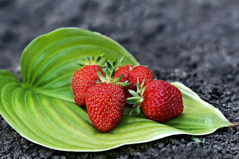 Κινηματογράφηση σε πρώτο πλάνο φραουλών στο πράσινο φύλλο στοκ εικόνα