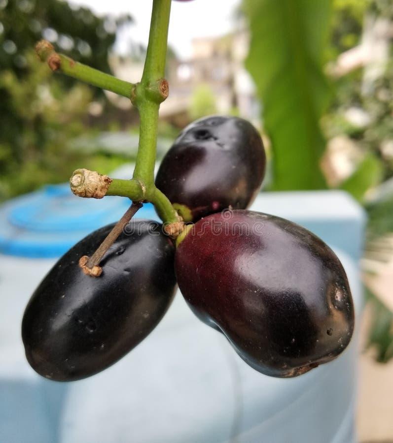 Κινηματογράφηση σε πρώτο πλάνο φρούτων Jamun στοκ εικόνες