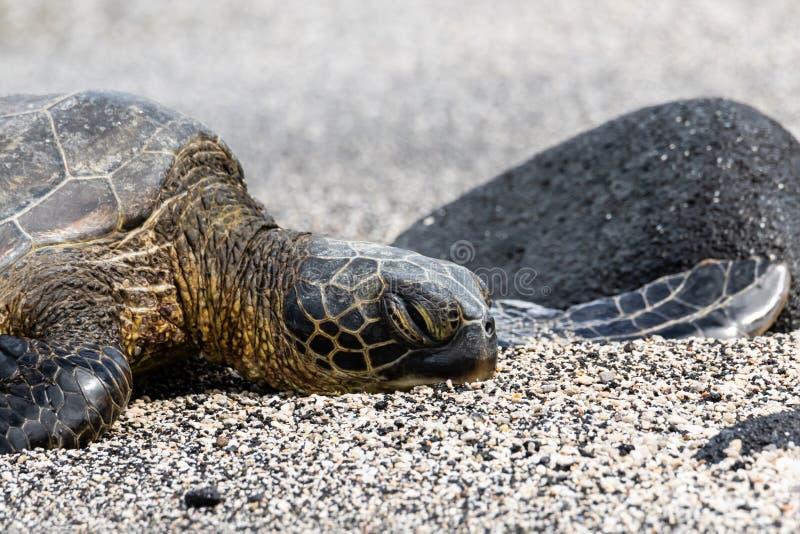 Κινηματογράφηση σε πρώτο πλάνο, χελώνα πράσινης θάλασσας στη μαύρη & άσπρη άμμο Μεγάλο νησί, Χαβάη στοκ φωτογραφίες