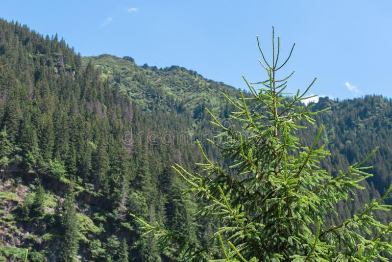 Κινηματογράφηση σε πρώτο πλάνο χριστουγεννιάτικων δέντρων σε ένα τοπίο βουνών στοκ εικόνες