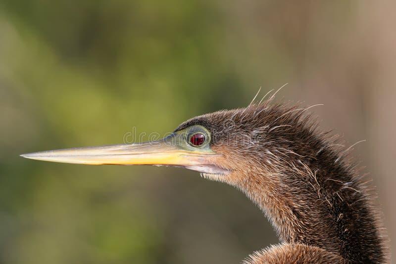 Κινηματογράφηση σε πρώτο πλάνο Anhinga, εθνικό πάρκο Everglades, Φλώριδα στοκ εικόνες με δικαίωμα ελεύθερης χρήσης
