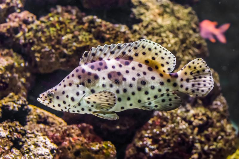 Κινηματογράφηση σε πρώτο πλάνο grouper πάνθηρων, άσπρη με τα μαύρα τροπικά ψάρια spotter, εξωτικό κατοικίδιο ζώο από το indo-ειρη στοκ εικόνες