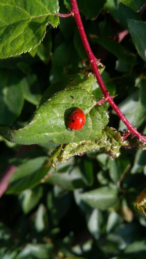 Κινηματογράφηση σε πρώτο πλάνο Ladybug στοκ φωτογραφία