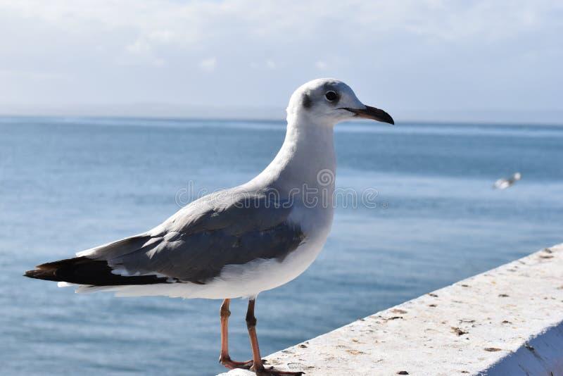 Κινηματογράφηση σε πρώτο πλάνο seagull στον κόλπο Mossel, Νότια Αφρική στοκ εικόνα