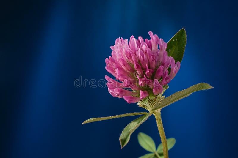 Κινηματογράφηση σε πρώτο πλάνο εγκαταστάσεων πετάλων λουλουδιών τριφυλλιού στο μπλε κλίμα στοκ εικόνες