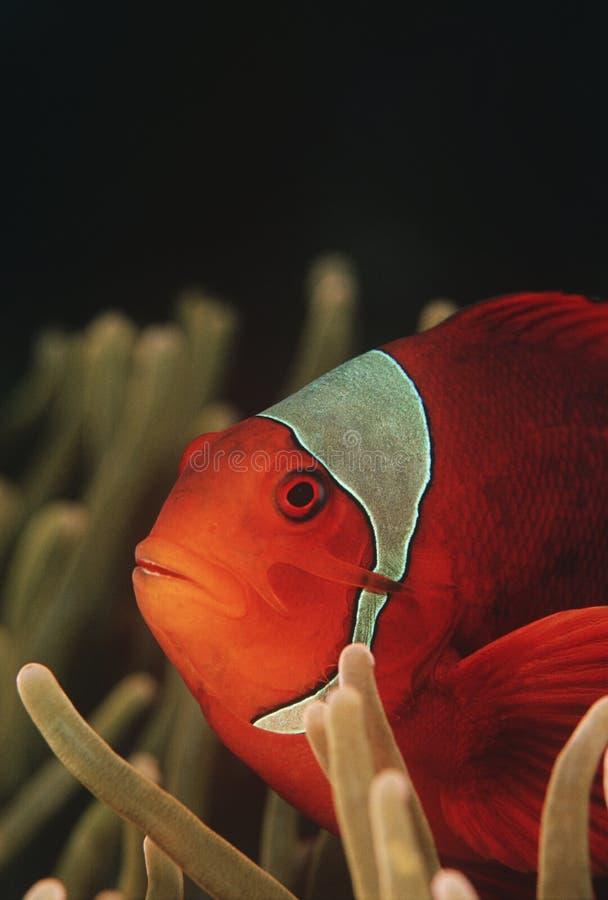 Κινηματογράφηση σε πρώτο πλάνο Ειρηνικών Ωκεανών Ampat Ινδονησία Raja spinecheek anemonefish (biaculeatus Premnas) στοκ εικόνες
