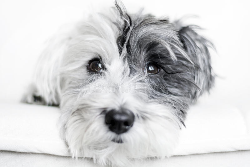 Κινηματογράφηση σε πρώτο πλάνο ενός άσπρου σκυλιού με το μαύρο αυτί στοκ φωτογραφία
