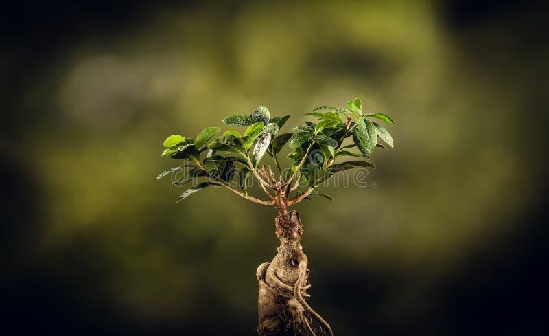 Κινηματογράφηση σε πρώτο πλάνο ενός δέντρου μπονσάι, στο φυσικό υπόβαθρο στοκ εικόνες