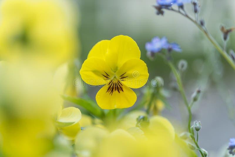 Κινηματογράφηση σε πρώτο πλάνο ενός κερασφόρου ιώδους λουλουδιού στοκ φωτογραφία