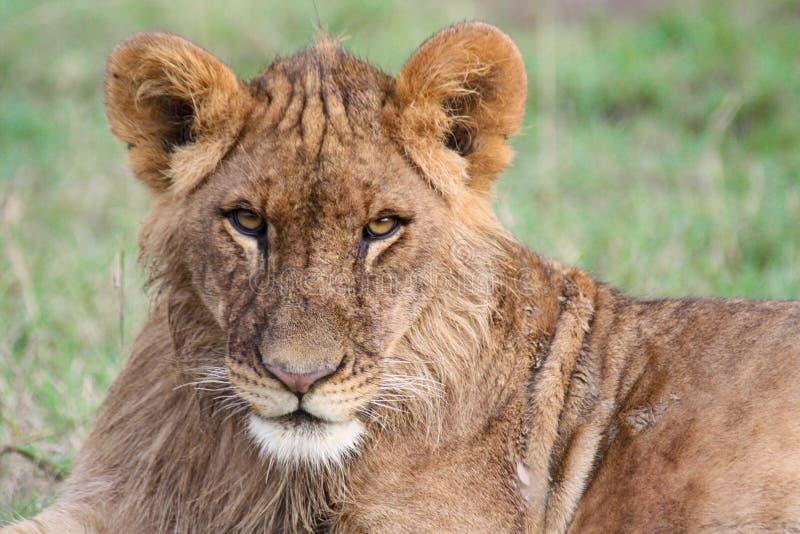 Κινηματογράφηση σε πρώτο πλάνο ενός νέου λιονταριού στοκ εικόνες