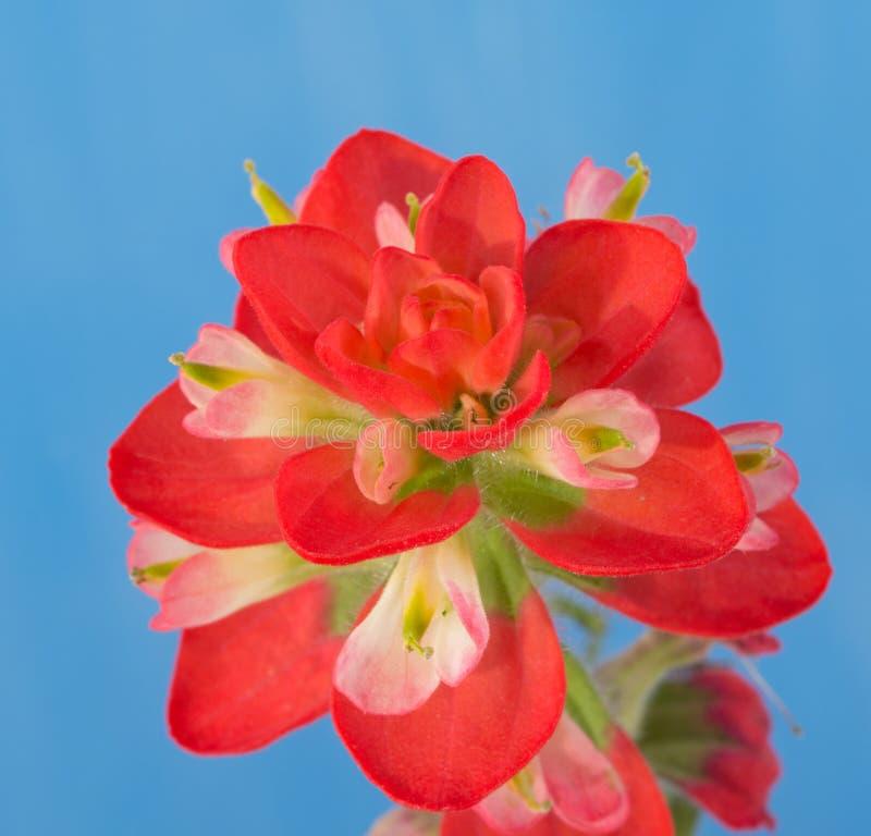 Κινηματογράφηση σε πρώτο πλάνο ενός φωτεινού κόκκινου ινδικού λουλουδιού πινέλων στοκ εικόνες