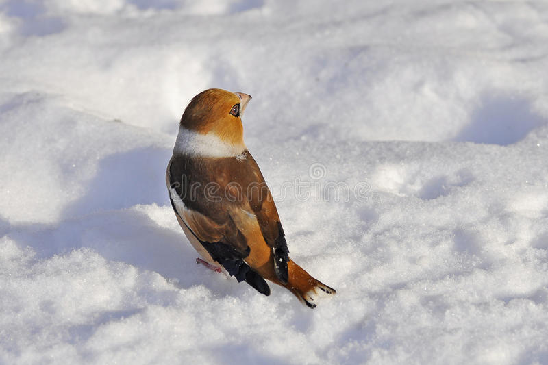 Κινηματογράφηση σε πρώτο πλάνο ενός hawfinch, Coccothraustes Coccothraustes στοκ φωτογραφία με δικαίωμα ελεύθερης χρήσης