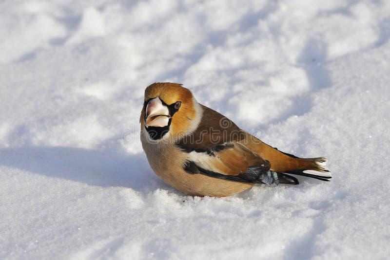Κινηματογράφηση σε πρώτο πλάνο ενός hawfinch, Coccothraustes Coccothraustes στοκ εικόνες με δικαίωμα ελεύθερης χρήσης