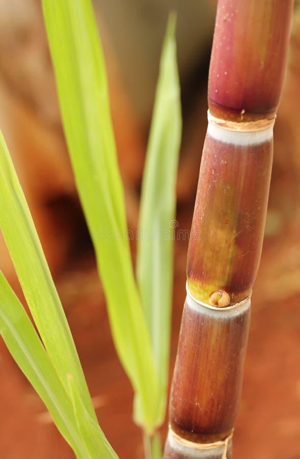 Κινηματογράφηση σε πρώτο πλάνο ζαχαροκάλαμων ή καλάμων ζάχαρης που παρουσιάζει juicy ώριμο μίσχο στοκ εικόνα