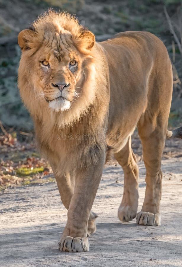 Κινηματογράφηση σε πρώτο πλάνο λιονταριών στοκ φωτογραφίες με δικαίωμα ελεύθερης χρήσης