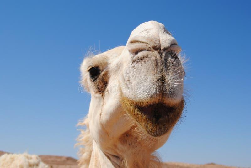 Κινηματογράφηση σε πρώτο πλάνο καμηλών της Ιορδανίας στοκ φωτογραφία