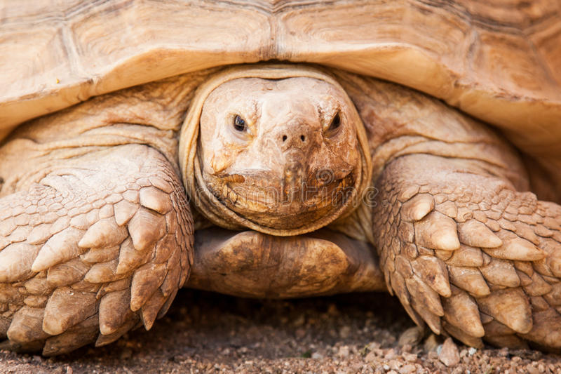 Κινηματογράφηση σε πρώτο πλάνο μεγάλα Galapagos Tortoise στοκ φωτογραφία με δικαίωμα ελεύθερης χρήσης