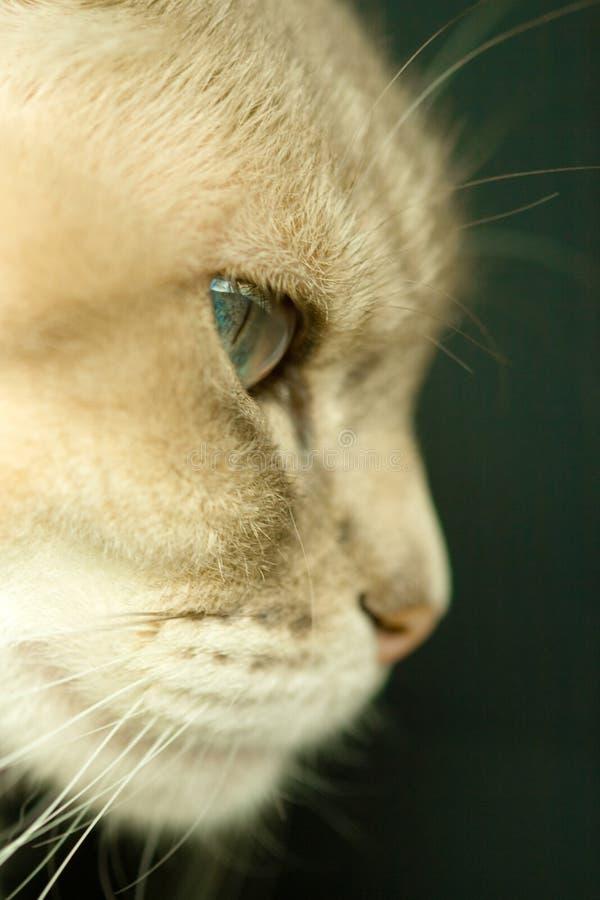 Σιαμέζα μπλε γάτα σημείου στοκ εικόνες