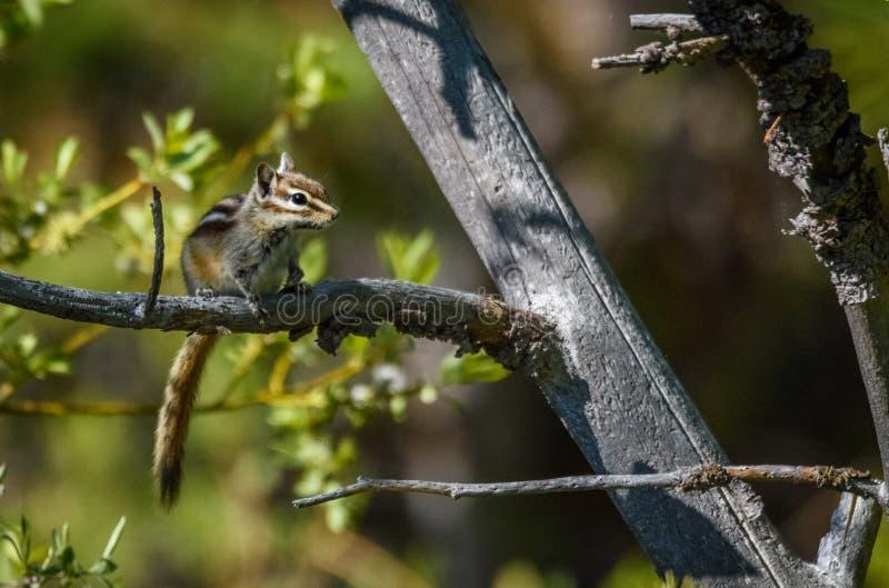 Κινηματογράφηση σε πρώτο πλάνο μιας συνεδρίασης chipmunk σε έναν κλάδο δέντρων με ένα μαλακό πράσινο φυσικό θολωμένο υπόβαθρο Εθν στοκ εικόνες με δικαίωμα ελεύθερης χρήσης