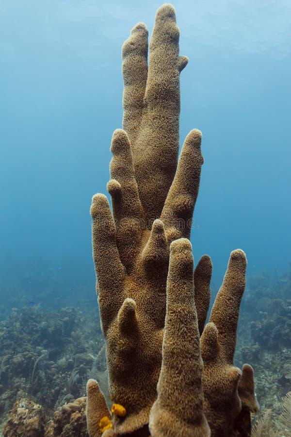 Κινηματογράφηση σε πρώτο πλάνο μιας ψηλής συστάδας των σφουγγαριών σωλήνων σωλήνων σομπών που αυξάνεται κατακόρυφα στην κοραλλιογ στοκ φωτογραφίες με δικαίωμα ελεύθερης χρήσης