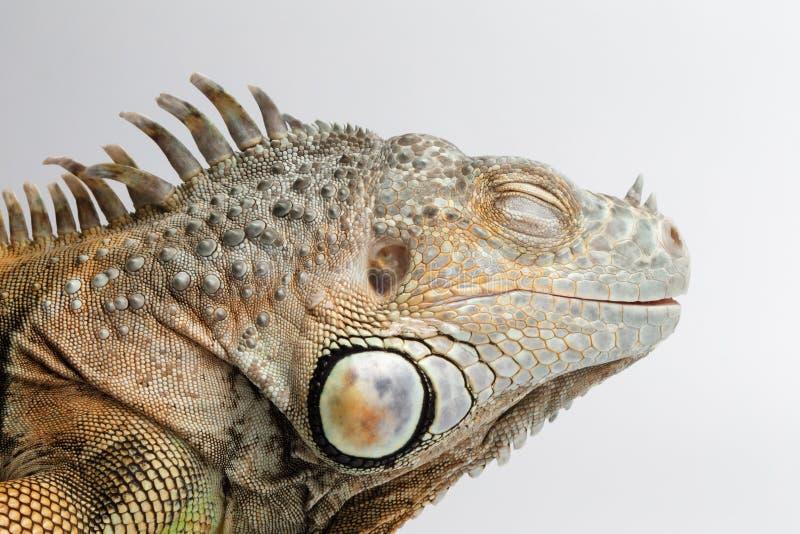 Κινηματογράφηση σε πρώτο πλάνο που κοιμάται πράσινο Iguana στο άσπρο υπόβαθρο στοκ φωτογραφίες με δικαίωμα ελεύθερης χρήσης