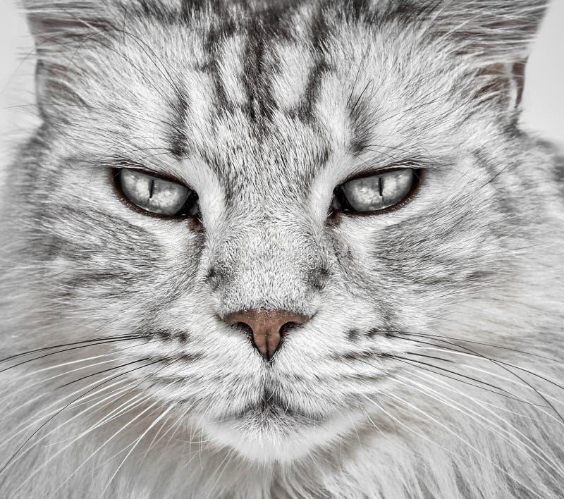 Κινηματογράφηση σε πρώτο πλάνο προσώπου γατών στοκ εικόνα
