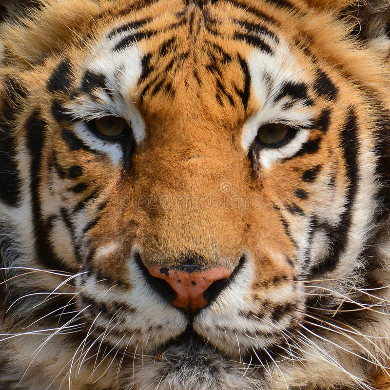 Κινηματογράφηση σε πρώτο πλάνο προσώπου τιγρών στοκ εικόνες