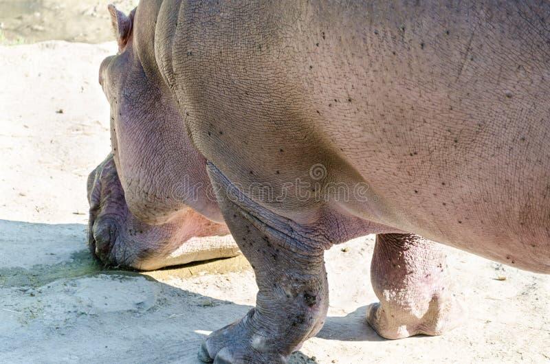Κινηματογράφηση σε πρώτο πλάνο πόσιμου νερού Hippo στοκ φωτογραφίες με δικαίωμα ελεύθερης χρήσης