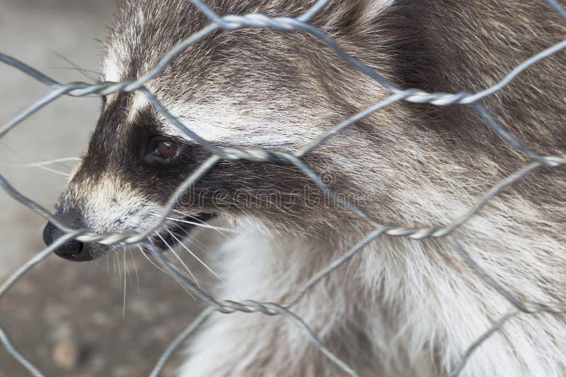 Κινηματογράφηση σε πρώτο πλάνο ρακούν στο κλουβί ζωολογικών κήπων στοκ εικόνα με δικαίωμα ελεύθερης χρήσης