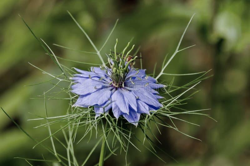 Κινηματογράφηση σε πρώτο πλάνο σε ένα λουλούδι της αγάπη--α-υδρονέφωσης (damascena Nigella), οικογένεια νεραγκουλών (Ranunculacea στοκ φωτογραφίες