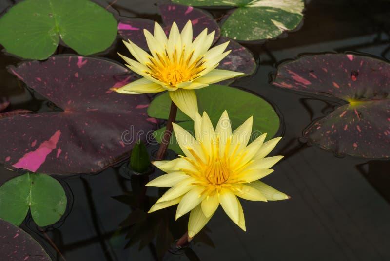 Κινηματογράφηση σε πρώτο πλάνο στο όμορφο Lotus Nymphaeaceae Nymphaea κρίνων νερού στοκ φωτογραφία