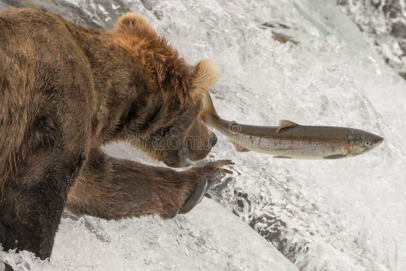 Κινηματογράφηση σε πρώτο πλάνο της αρκούδας που φθάνει για τον πηδώντας σολομό στοκ φωτογραφίες με δικαίωμα ελεύθερης χρήσης