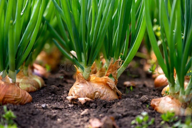 κινηματογράφηση σε πρώτο πλάνο της φυτείας κρεμμυδιών σε ένα θερμοκήπιο στοκ εικόνες