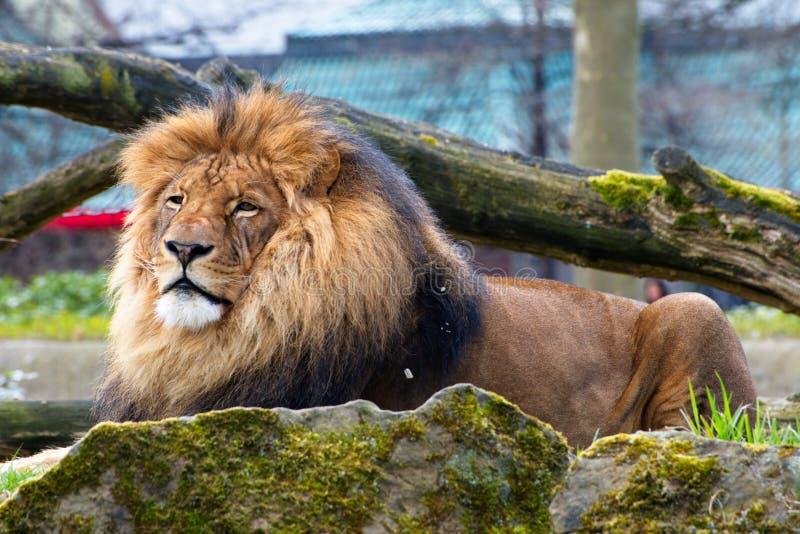 Κινηματογράφηση σε πρώτο πλάνο του μεγάλου αρσενικού αφρικανικού λιονταριού στο μαύρο υπόβαθρο στοκ εικόνα
