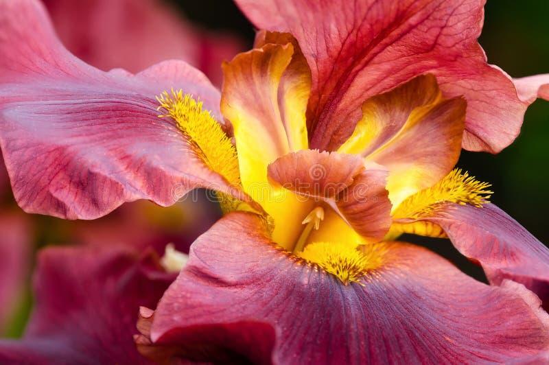 Κινηματογράφηση σε πρώτο πλάνο του λουλουδιού της Iris στοκ φωτογραφία με δικαίωμα ελεύθερης χρήσης