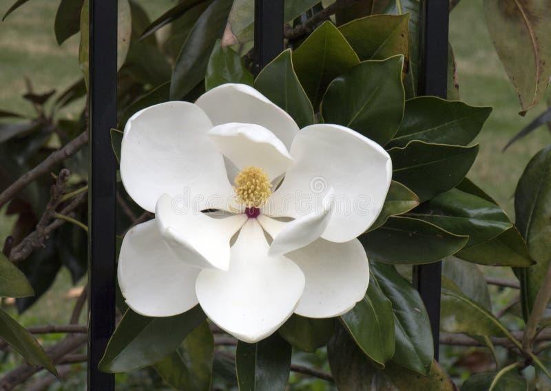 Κινηματογράφηση σε πρώτο πλάνο του λουλουδιού του grandiflora δέντρου Magnolia στοκ εικόνες