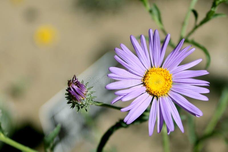 Κινηματογράφηση σε πρώτο πλάνο του πορφυρού λουλουδιού αστέρων ερήμων στοκ εικόνα