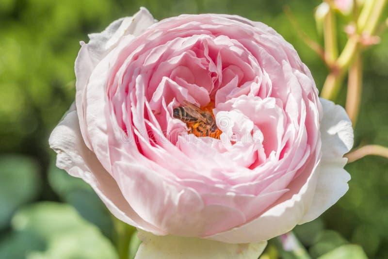 Κινηματογράφηση σε πρώτο πλάνο του ροδαλού λουλουδιού με μια μέλισσα στοκ εικόνα