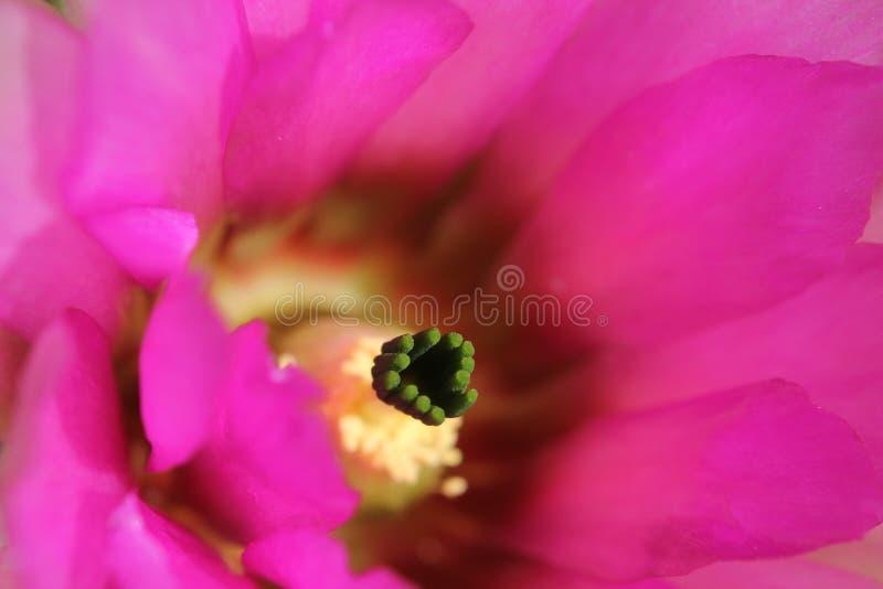 Κινηματογράφηση σε πρώτο πλάνο του φούξια λουλουδιού κάκτων σκαντζόχοιρων στοκ φωτογραφία με δικαίωμα ελεύθερης χρήσης