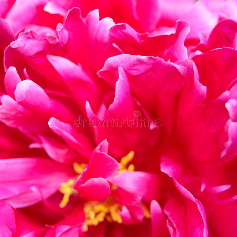 Κινηματογράφηση σε πρώτο πλάνο του όμορφου ρόδινου λουλουδιού Peony στοκ εικόνες με δικαίωμα ελεύθερης χρήσης