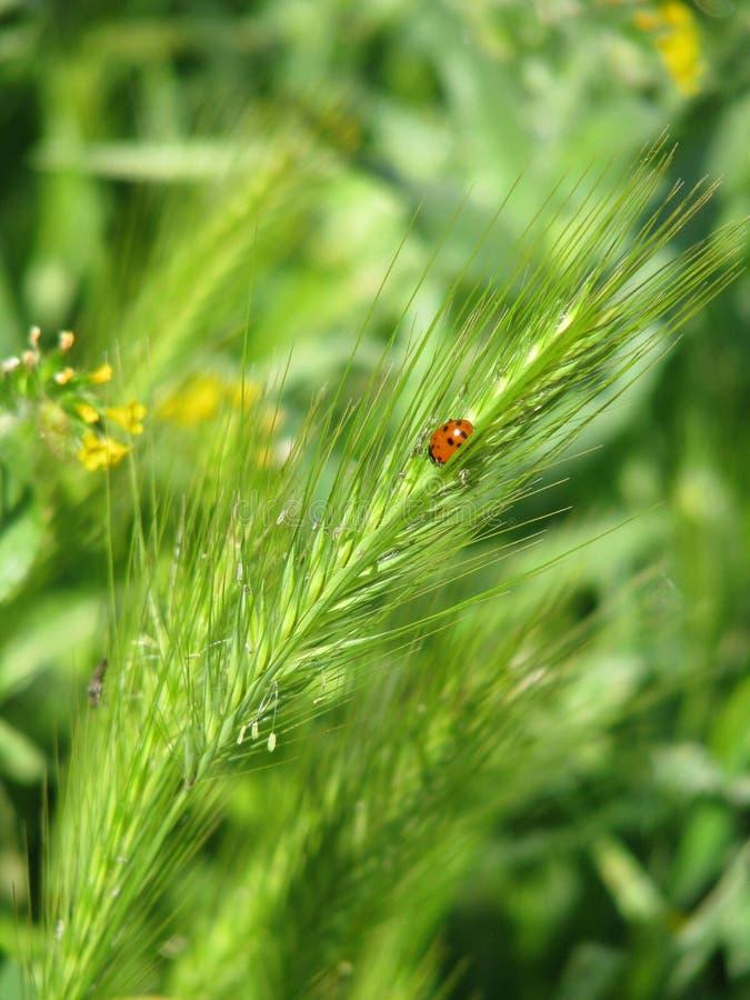 Κινηματογράφηση σε πρώτο πλάνο του ladybug στις εγκαταστάσεις στοκ φωτογραφίες