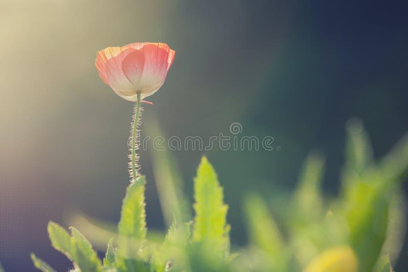 Κινηματογράφηση σε πρώτο πλάνο των κόκκινων λουλουδιών παπαρουνών στοκ φωτογραφία με δικαίωμα ελεύθερης χρήσης