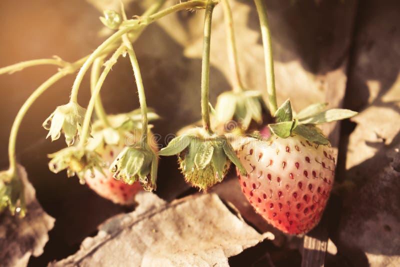 Κινηματογράφηση σε πρώτο πλάνο των κόκκινων φραουλών με τη φύτευση του υποβάθρου φραουλών στοκ εικόνες με δικαίωμα ελεύθερης χρήσης