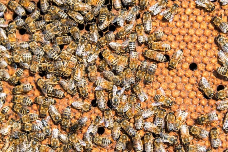 Κινηματογράφηση σε πρώτο πλάνο των μελισσών στοκ εικόνα με δικαίωμα ελεύθερης χρήσης