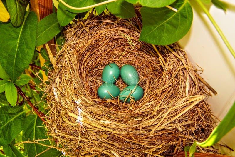 Κινηματογράφηση σε πρώτο πλάνο των μπλε αυγών της Robin σε μια φωλιά σε ένα δέντρο στοκ εικόνες
