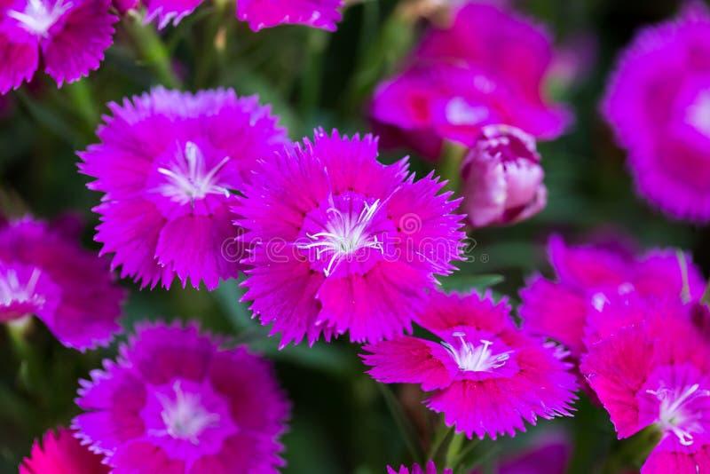 Κινηματογράφηση σε πρώτο πλάνο των ρόδινων Chinensis λουλουδιών Dianthus στοκ φωτογραφία με δικαίωμα ελεύθερης χρήσης