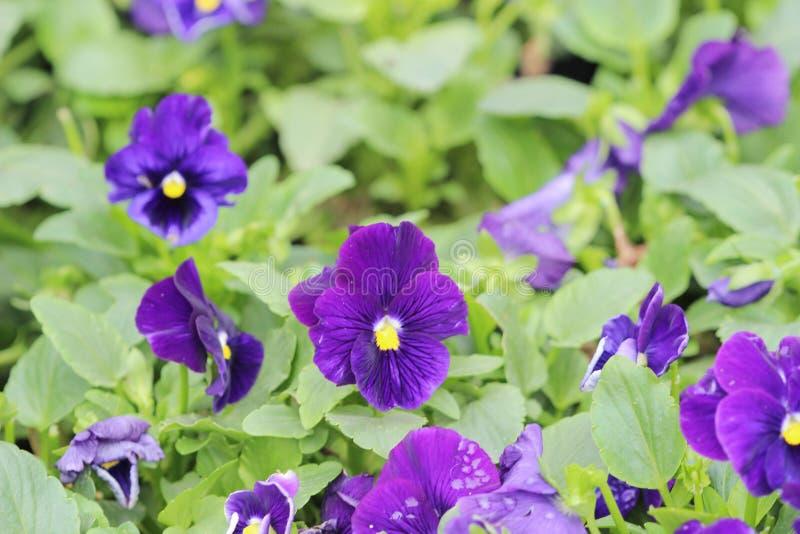 Κινηματογράφηση σε πρώτο πλάνο των violas ή pansies στο κρεβάτι λουλουδιών στοκ φωτογραφία με δικαίωμα ελεύθερης χρήσης