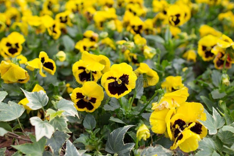 Κινηματογράφηση σε πρώτο πλάνο των violas ή pansies στο κρεβάτι λουλουδιών στοκ εικόνες