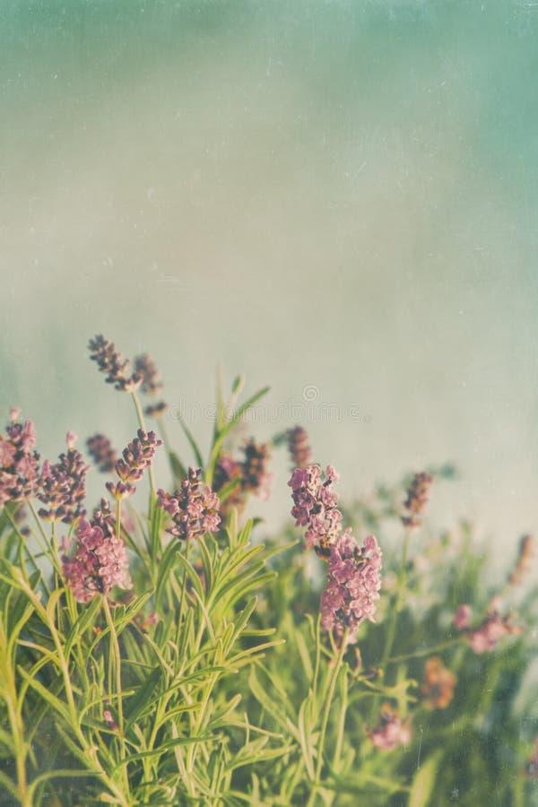 Κινηματογράφηση σε πρώτο πλάνο lavender των λουλουδιών με το εκλεκτής ποιότητας χρώμα στοκ εικόνα με δικαίωμα ελεύθερης χρήσης